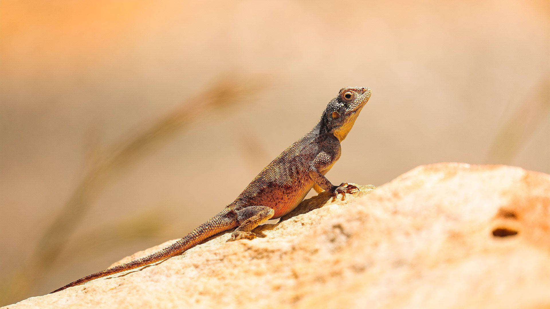 A lizard standing on a rock raises its head and upper body in the sunlight.